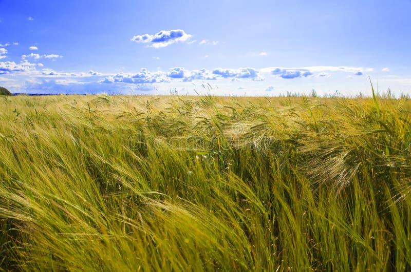 Field Of Wheat Under Azure Sky Royalty Free Stock Photos