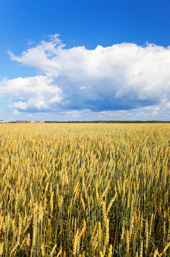 Download Field Of Wheat Under Azure Sky Stock Photo - Image: 18006662
