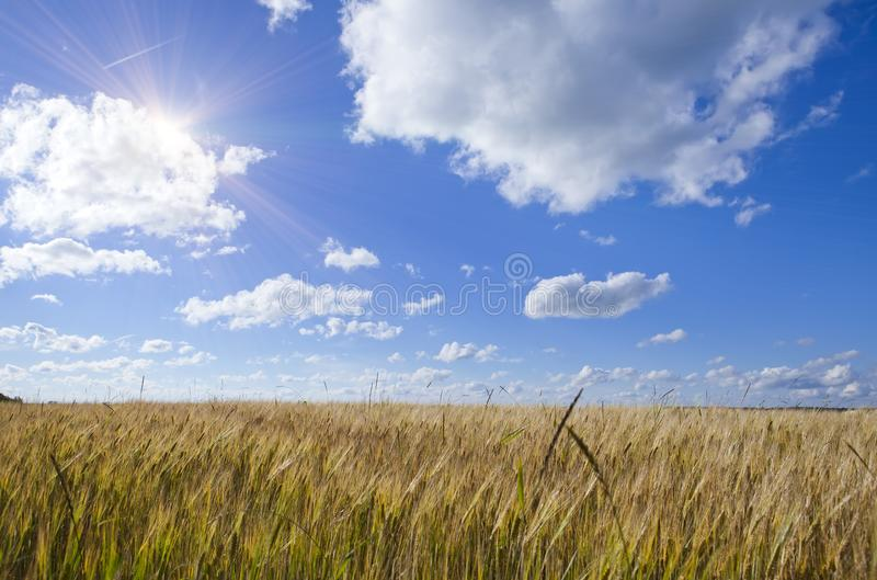 Field of wheat under blue sky royalty free stock photography