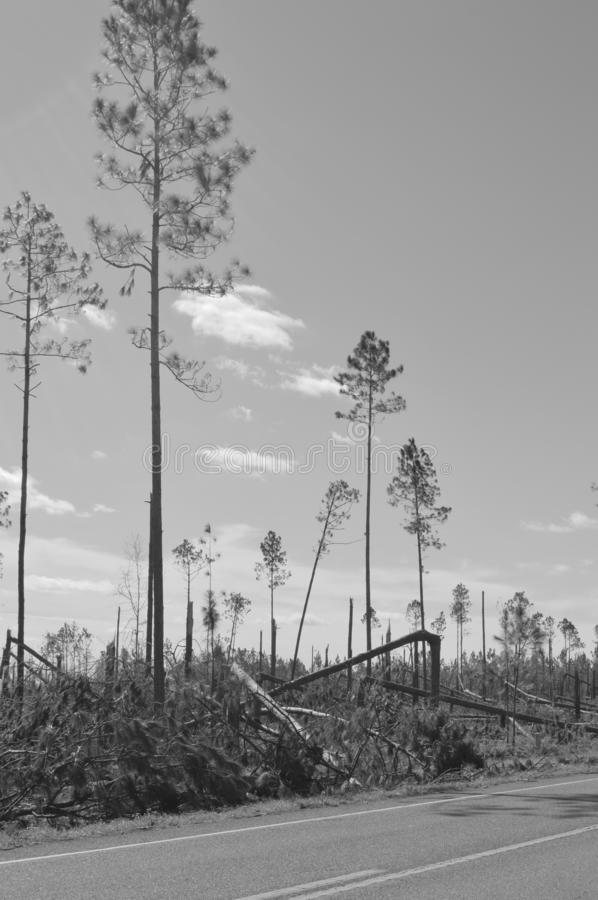 Hurricane Damaged Trees. A field where many pine trees once stood was ravaged by Hurricane Michael in the panhandle of Florida royalty free stock photos