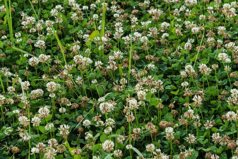 Field of white clover. Honey flowers, summer landscape.  royalty free stock image