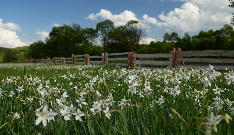 A field of white daffodils blooms against a sky with clouds surrounded by a wooden fence, behind which tall green trees grow. A field of white daffodils blooms royalty free stock photos