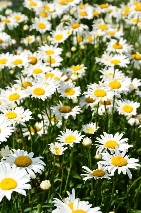 Field of white Daisies stock photos