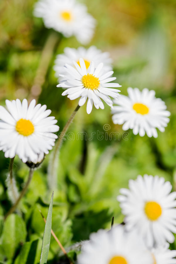 Field With White Daisies Stock Photo