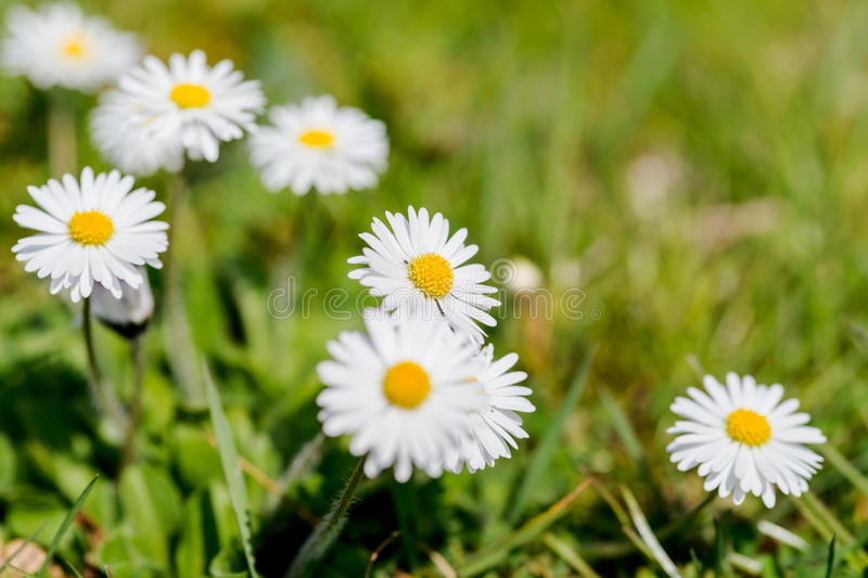Download Field with white daisies stock photo. Image of botany - 41340350