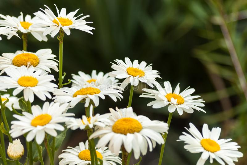Field of white daisy flowers. Camomile.Flower background stock images