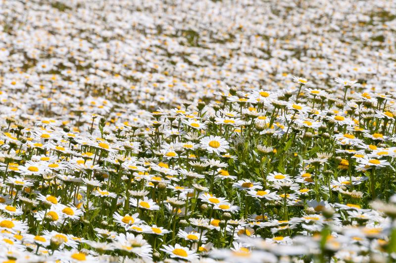 Field of white daisy flowers, nature background stock photography