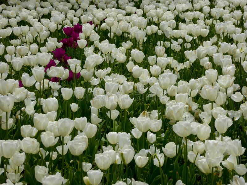 A field of white and few purple tulips blooming royalty free stock photography