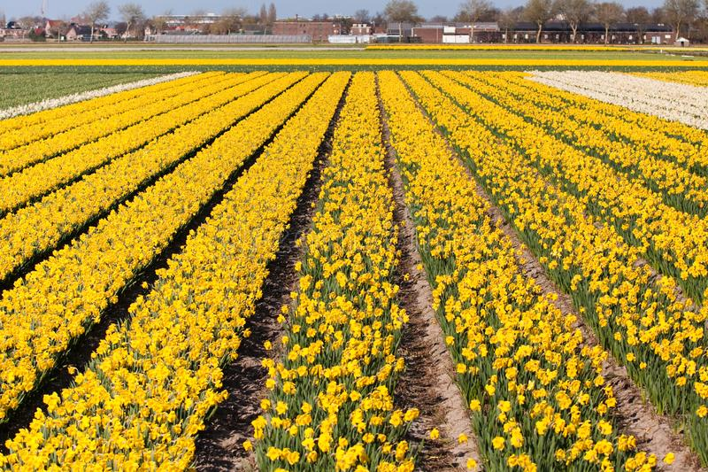 Download Field Of White Flowers - Narcissus Stock Image - Image of industry, coloured: 13996867