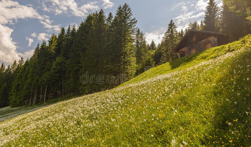 Field with many white narcissus, Styria ,Austria . Field with white poet`s narcissus and green juicy grass on a spring sunny day.In background Loser Mountain stock photo