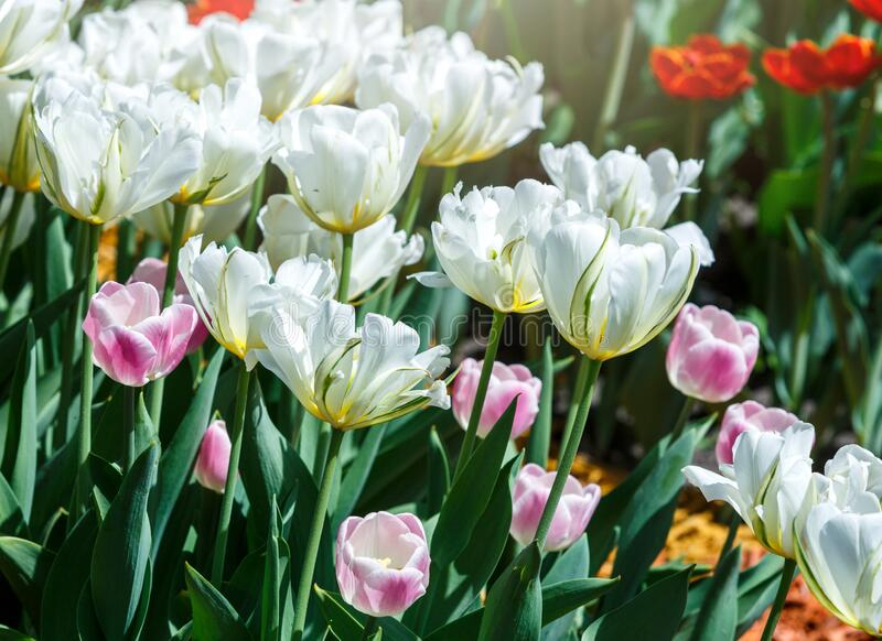 Field of white tulips with selective focus. Spring, floral background. Garden with flowers. Natural blooming stock photos