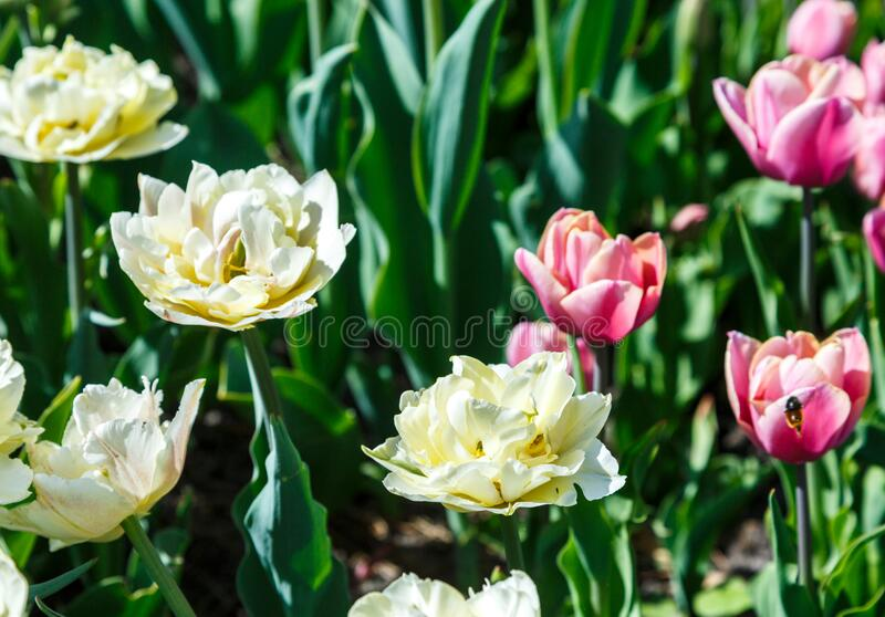 Field of white tulips with selective focus. Spring, floral background. Garden with flowers. Natural blooming stock image