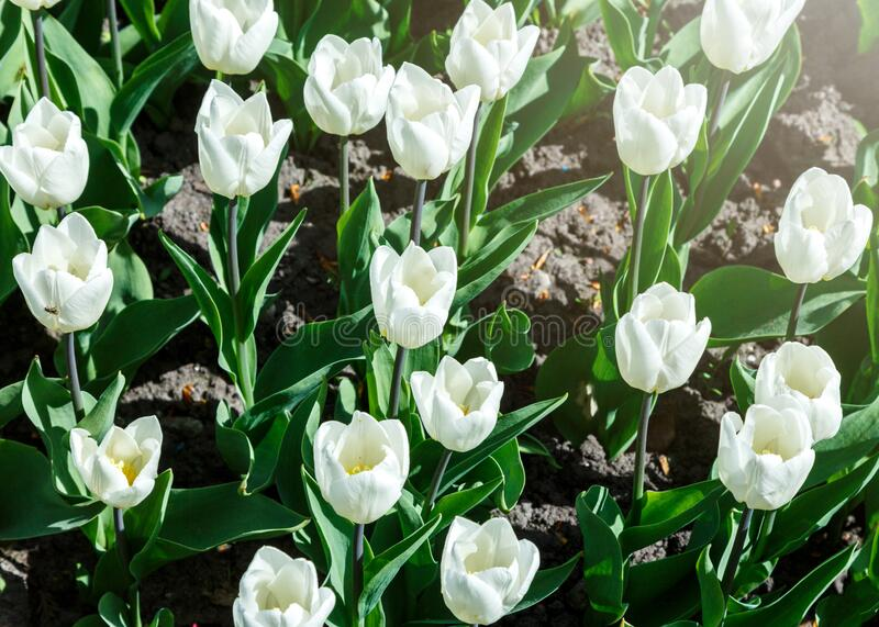 Field of white tulips with selective focus. Spring, floral background. Garden with flowers. Nature. Field of white tulips with selective focus. Spring, floral royalty free stock image