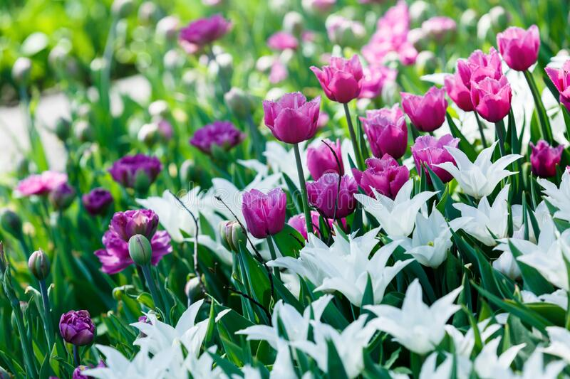 Field of white and violet tulips with selective focus. Spring, floral background. Garden with flowers. Nature. Field of white and violet tulips with selective stock photo