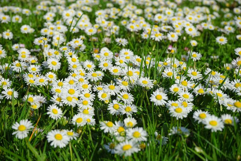 Field of White and Yellow Daisies royalty free stock photography