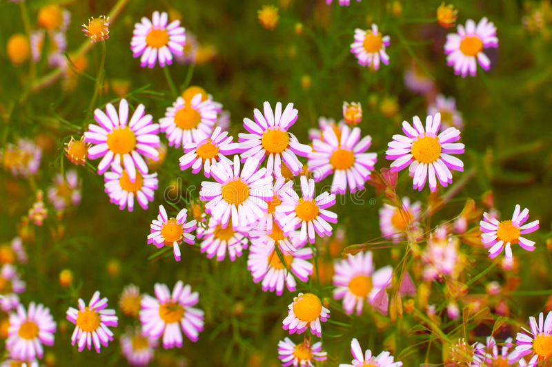 Field of wild daisies flowers. Digital signal glitch effect rgb shift, slices. Screen error royalty free stock images