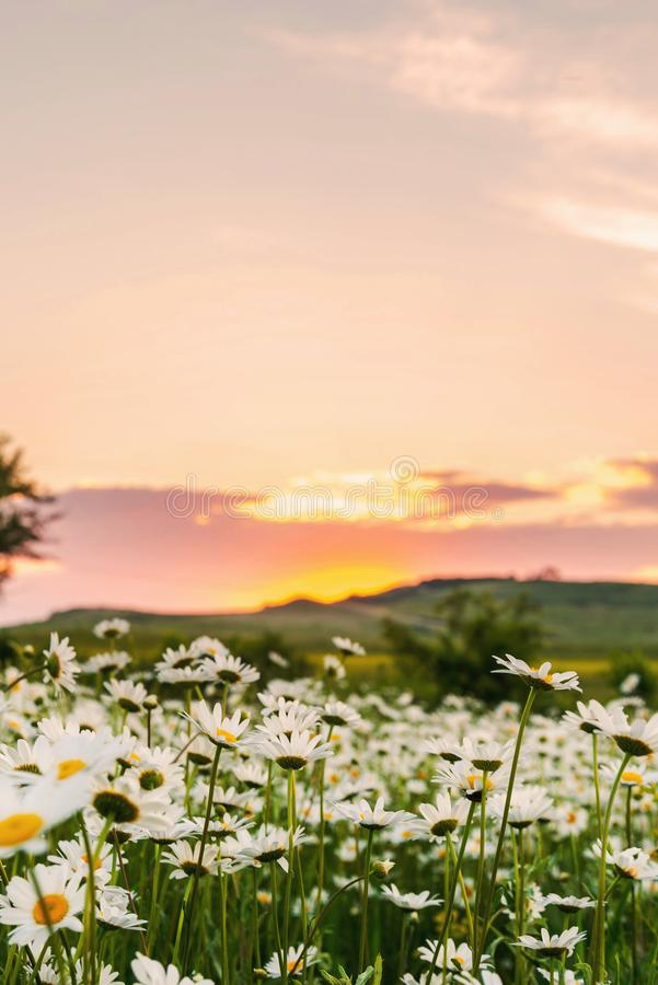 Chamomile field at sunset. Field of wild daisies at sunset, plant, nature, green, beautiful, summer, background, natural, floral, daisy, spring, outdoor, flower stock photos