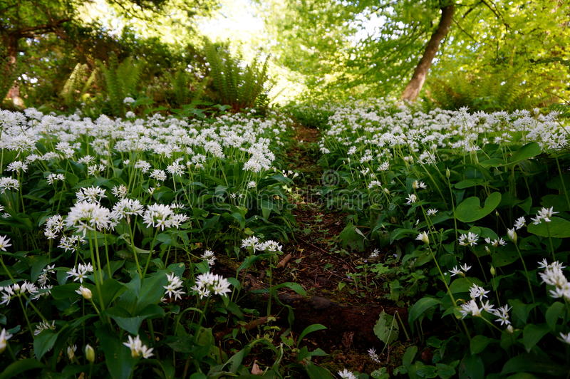 Field of wild garlic flowers - Allium ursinum royalty free stock image