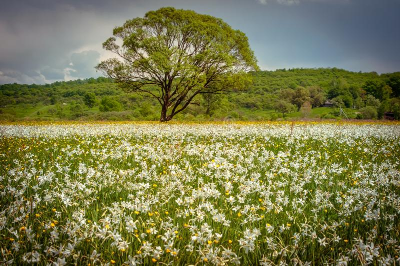 A field of wild narcissus. Narcissus Valley in Ukrainian Carpathians. Spring in the mountains. UKRAINE royalty free stock images