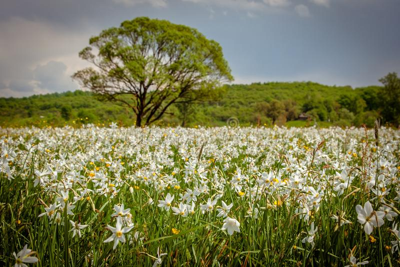 A field of wild narcissus. Narcissus Valley in Ukrainian Carpathians. Spring in the mountains. UKRAINE royalty free stock photo