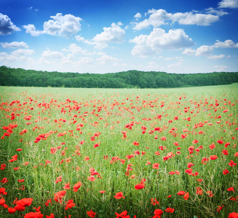 Field of wild poppy flowers.