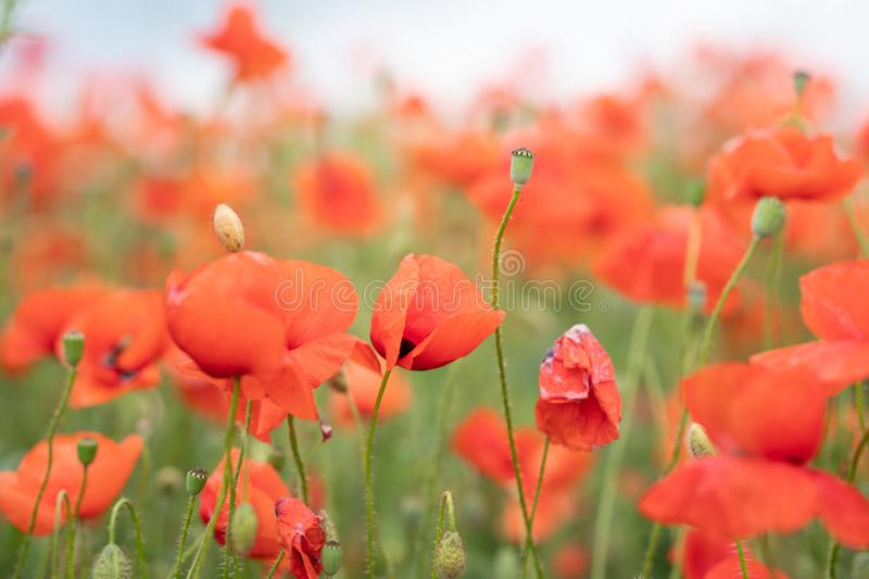 A field of wild red poppies on a bright sunny day. Blooming opium flowers. Colorful summer landscape stock photography