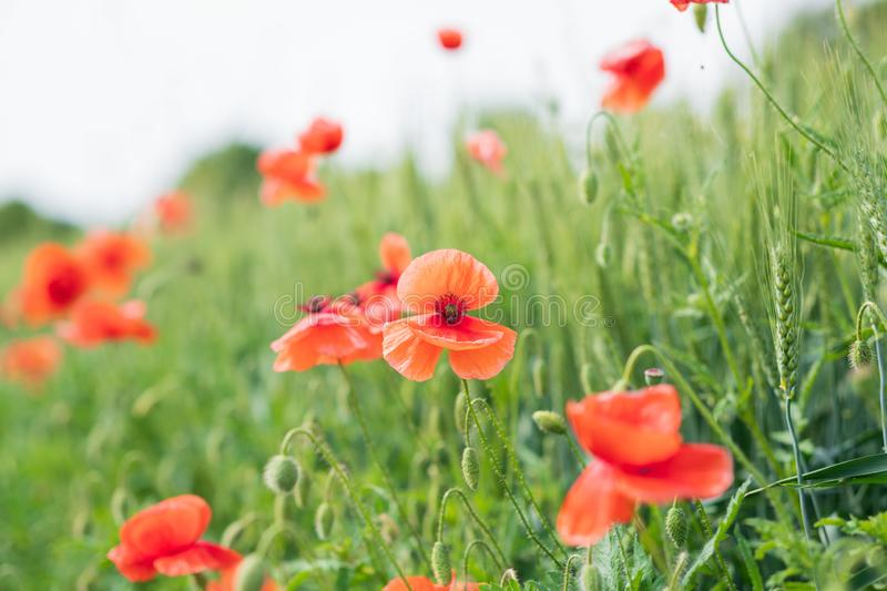 A field of wild red poppies on a bright sunny day. Blooming opium flowers. Colorful summer landscape royalty free stock photography