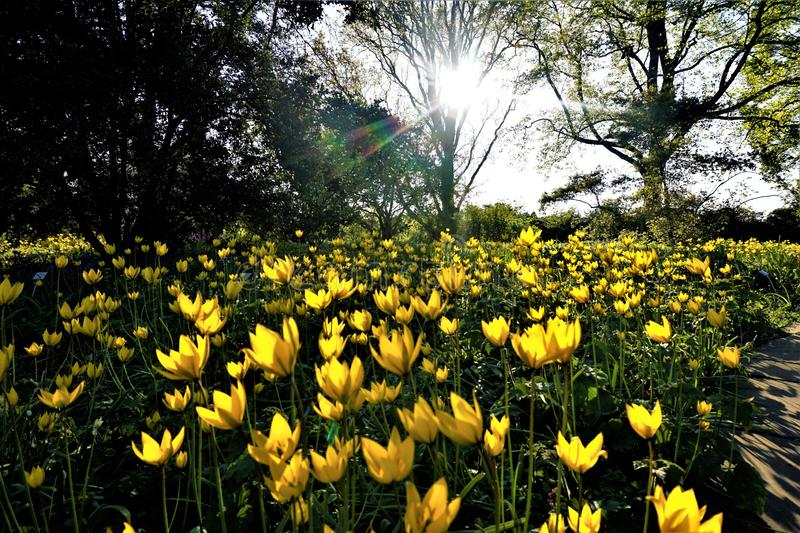 Field of wild tulips in the setting sun spotted in the Berggarten Hanover stock images