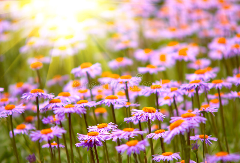 Field of wild violet flowers royalty free stock photos