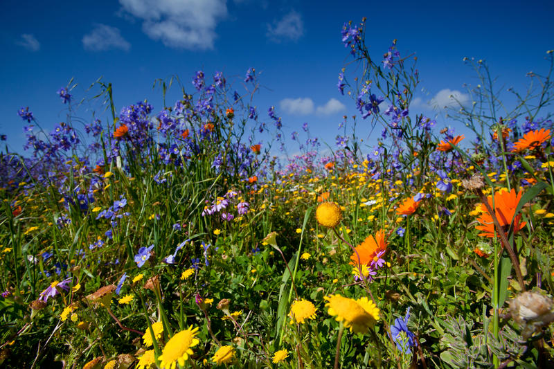 Field of wildflowers. Colorful field of wildflowers and blue sky royalty free stock images