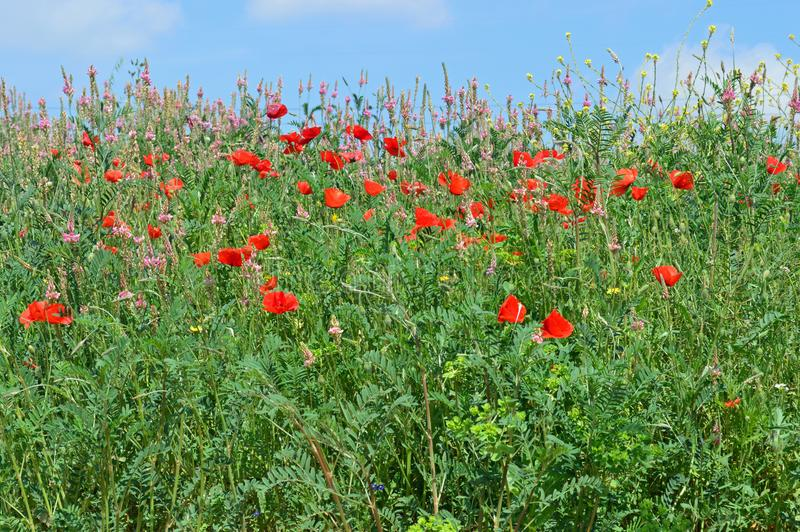 Field of wildflowers. And poppies in the cava wine growing area near Sant Sadurní d`Anoia, a municipality in the comarca of the Alt Penedès in Catalonia royalty free stock image