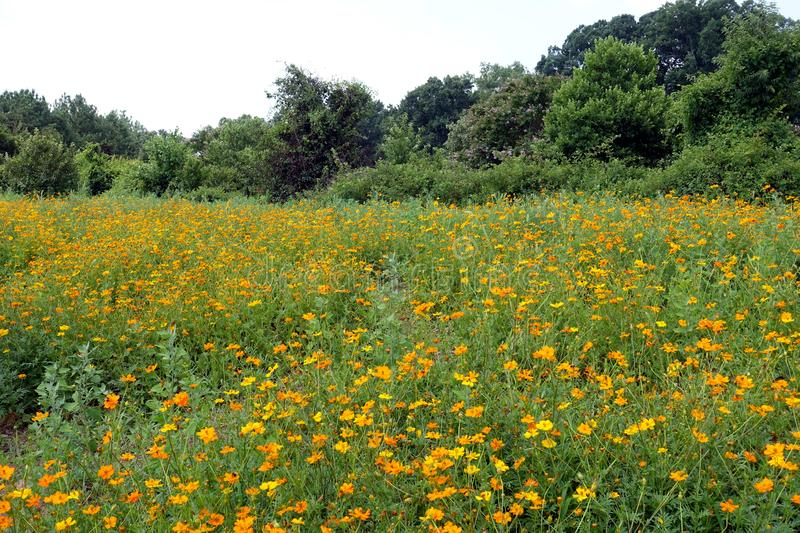 A Field of Wildflowers in Raleigh, North Carolina. A Field of Small Yellow and Orange Wildflowers in Raleigh, North Carolina stock image