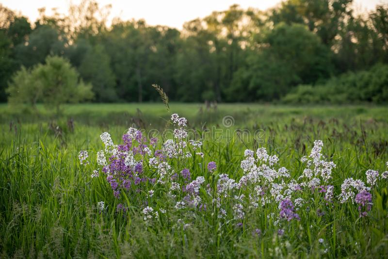 Field with wildflowers at sunset. Beautiful field of pink and white wildflowers at sunset with soft focus background royalty free stock image