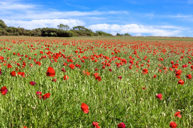 Field of wind blown Poppies in Sussex royalty free stock photos