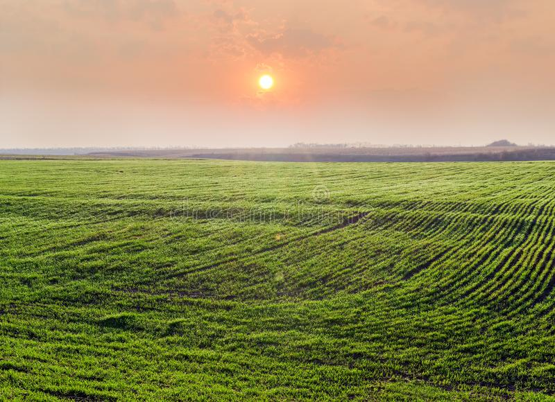 Field of winter wheat against of sunrise at early spring royalty free stock photography