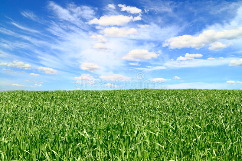 Field with winter wheat and the sky royalty free stock photos