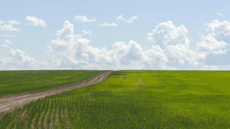 Field with winter wheat sprouts rye, unpaved road leaving into the distance. Grain crops, countryside, agricultural plants. stock photography