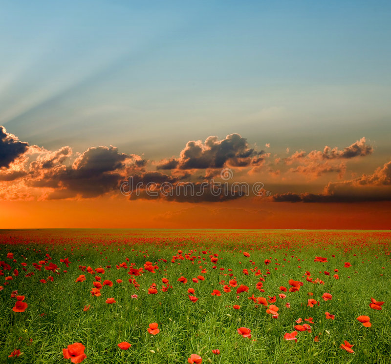 Free Field With Red Poppies Stock Image - 6488591