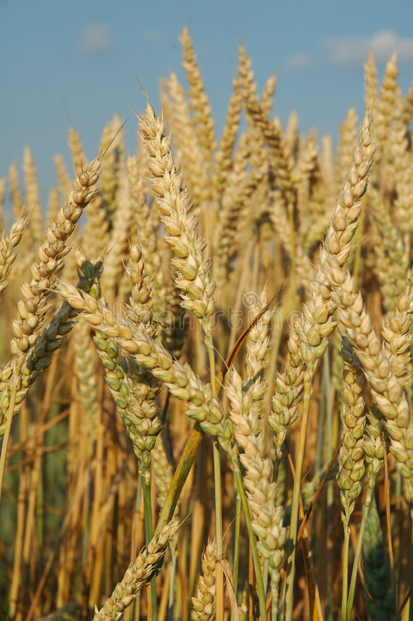 Free Field With Wheat Ready For The Harvest Royalty Free Stock Photo - 1335935