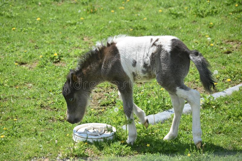 Wobbly Legged White and Black Miniature Horse in a Field stock image