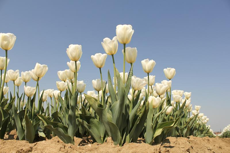 A field with wonderful white tulips closeup and a blue sky in the background in holland stock photography