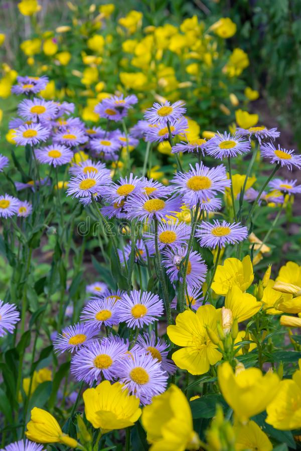 Field of yellow and blue flowers. Daisy and Eschscholzia stock photography