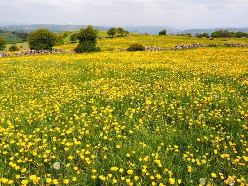 Field of yellow buttercups stock photo