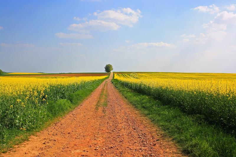 Field, Yellow, Canola, Rapeseed royalty free stock photo