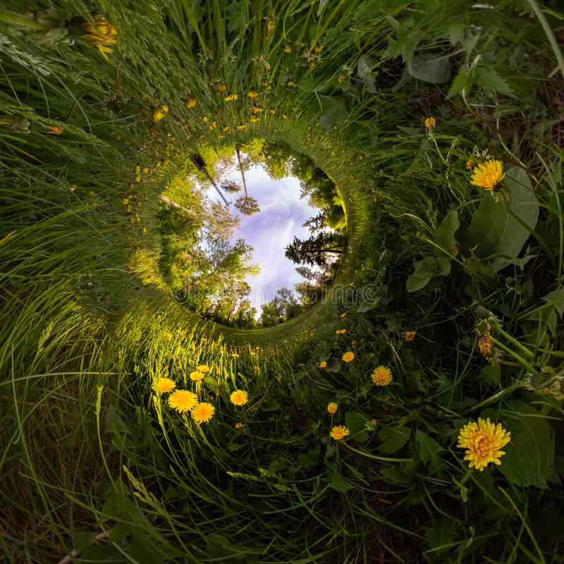 Field of yellow dandelions in the green forest at sunset. Tiny Little Planet royalty free stock photo