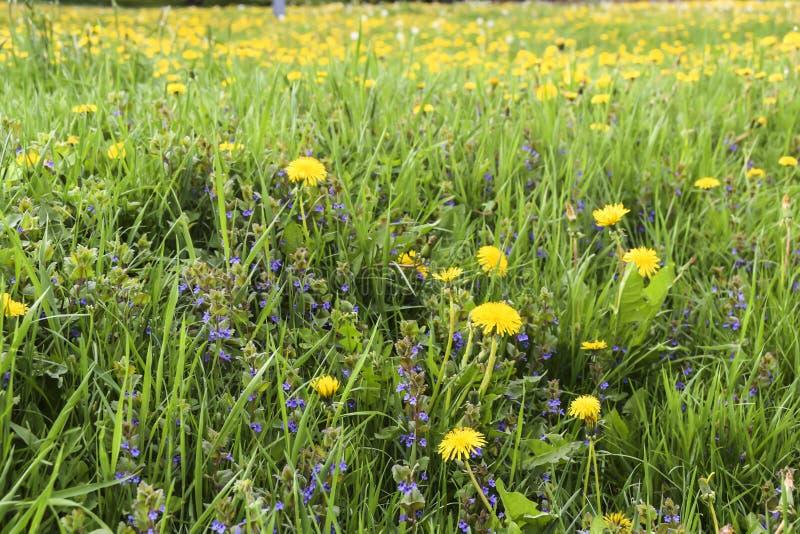 Field of yellow dandelions green meadow grass stock image
