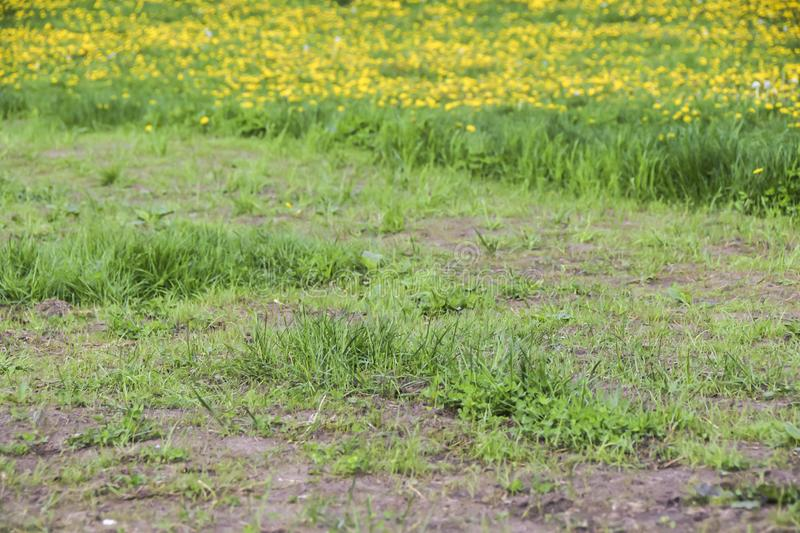 Field of yellow dandelions green meadow grass and road royalty free stock photography