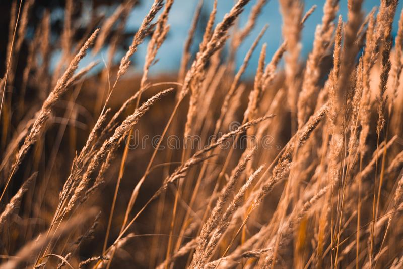 A field of yellow dry grass against a blue sky. Ripe Golden wheat and spikelets close-up. Beautiful scenery stock images