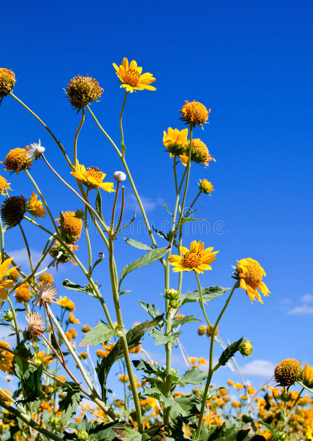 Download A field of yellow flowers stock photo. Image of plant - 14945892