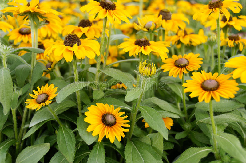 Download Field of Yellow Flowers stock photo. Image of botany - 15328846